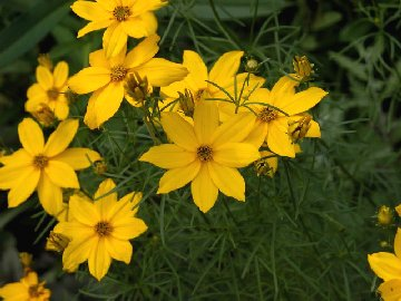 Coreopsis plant with blooms