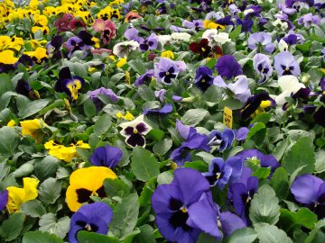 Pansy plant 6-packs available at Hillermann Nursery and Florist