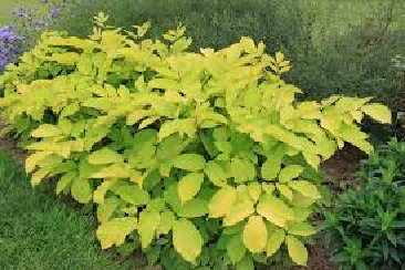 Picture of the Aralia Sun King plant