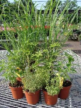 Mosquito repelling plants available at Hillermann Nursery and Florist