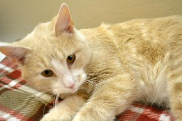 Adoptable cat Buzz from Franklin County Humane Society