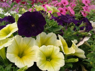 Petunia annual flowers available at Hillermann Nursery and Florist