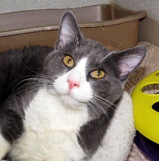 Adoptable cat Barnie from Franklin County Humane Society