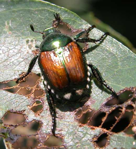 Japanese Beetle on a leaf