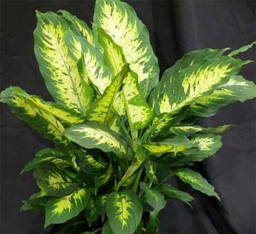Picture of a Dieffenbachia plant