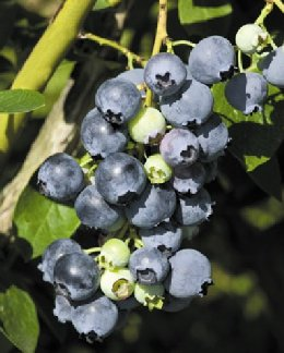 Blue Jay Blueberries