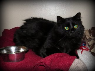 Adoptable cat Mindy from Franklin County Humane Society