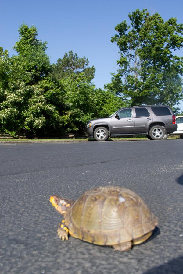 Picture of a turtle on pavement with a car in background from mdc.mo.gov