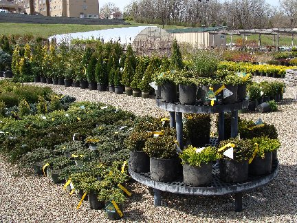 Evergreen shrubs available at Hillermann Nursery and Florist
