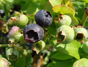 Blueberries on a Brazel Berry Jelly Bean Blueberry plant at Hillermann's