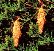 Bagworms on an evergreen shrub