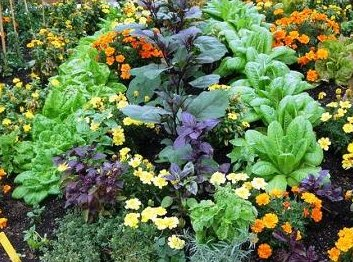 Vegetable and herb garden companion planting