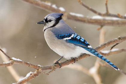Picture of a Blue Jay on a tree branch