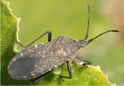 Picture of a squash bug