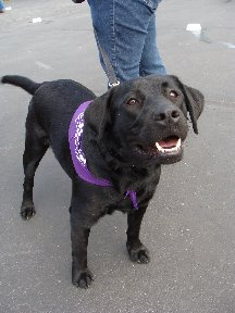 Black lab dog at Bark for Life