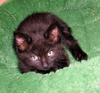 Adoptable kitten Beau from Franklin County Humane Society in Union, Missouri