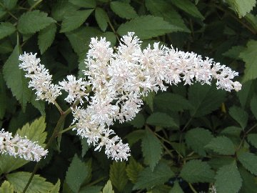 Astilbe plant with white blooms