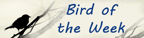 Bird of the Week photo and text graphic.