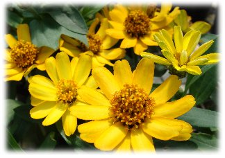 Yellow Zinnia blooms
