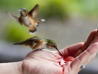 Feeding Hummingbirds