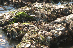 Olympia oysters are a foundational estuarine species in California and are the target of ongoing restoration efforts. Credit: NOAA
