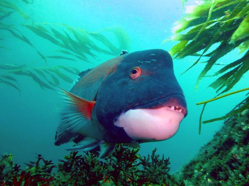 3-26-13, central Point Loma, California Sheephead. Submitted by Kristin Riser.