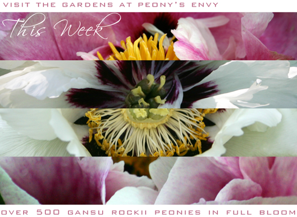Visit the Gardens - This Week Gansu Tree Peonies