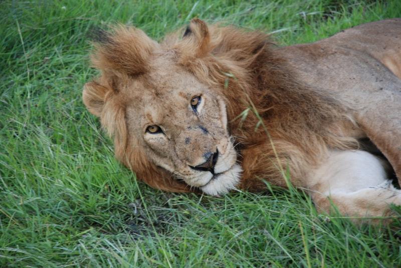 Kenya_lion