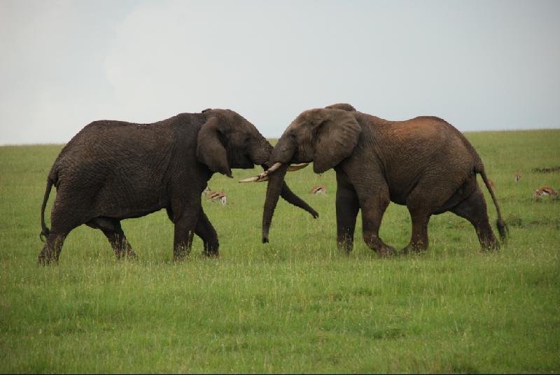 kenya_elephants