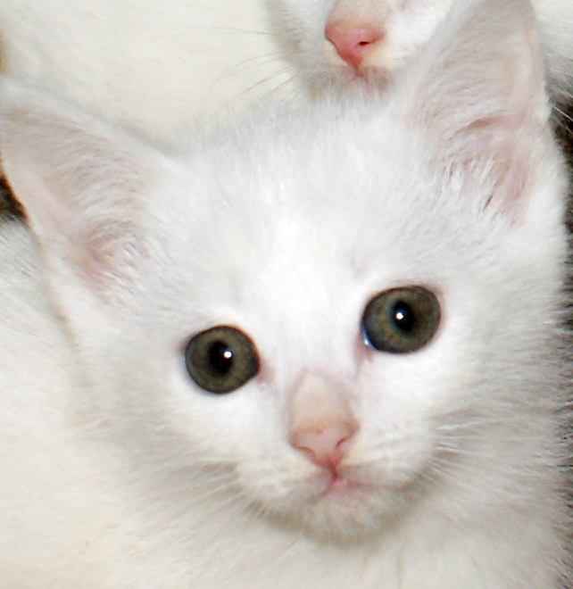 whit kitten