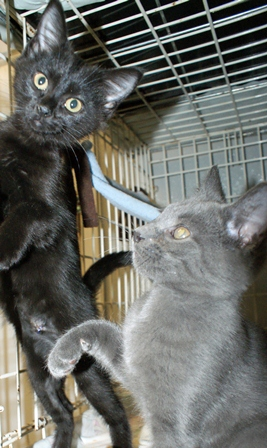Gray and Black Kittens