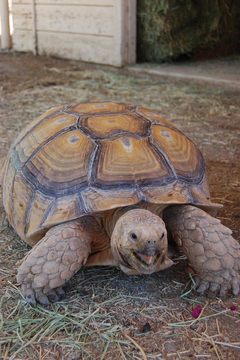 Frankee the Tortoise