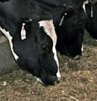 Hansen-cows