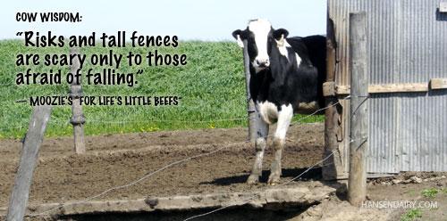 Cow wisdom