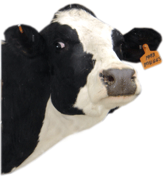 May Cow of the Month Muggs