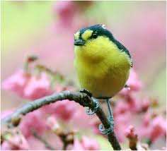 Yellow Bird in Cherry Blossoms