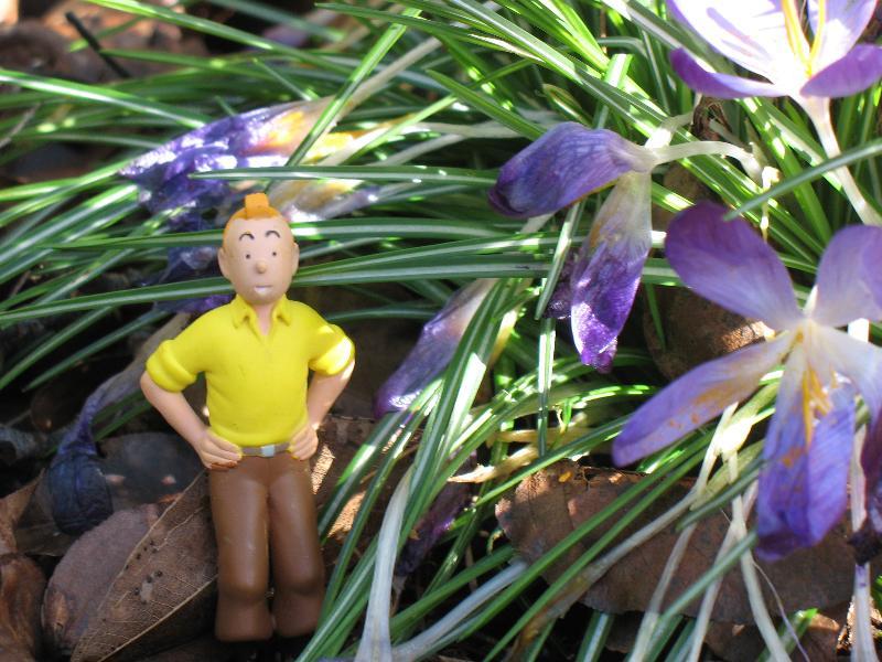 Tintin with Crocus