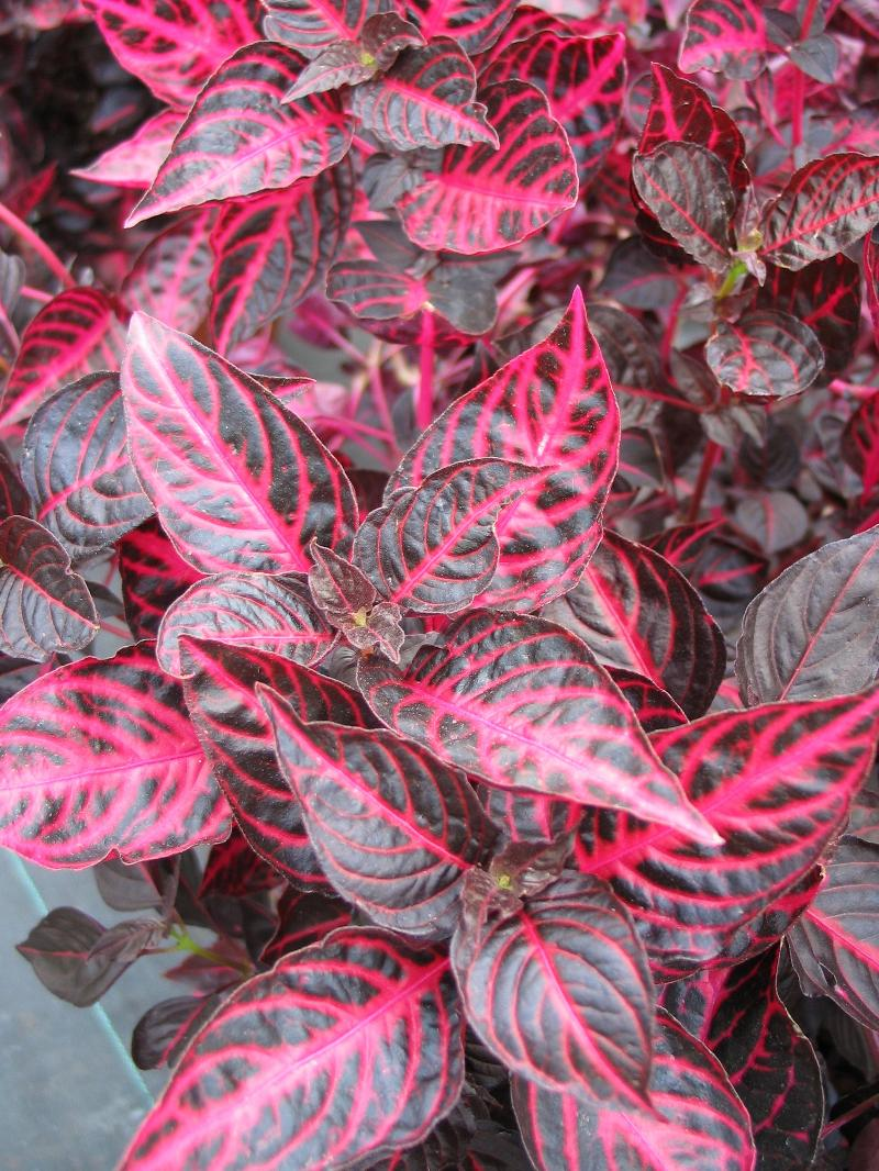 Iresine (Bloodleaf)