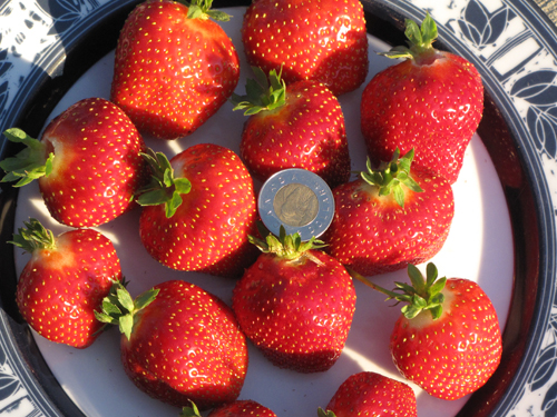 Seascape Everbearing Strawberries