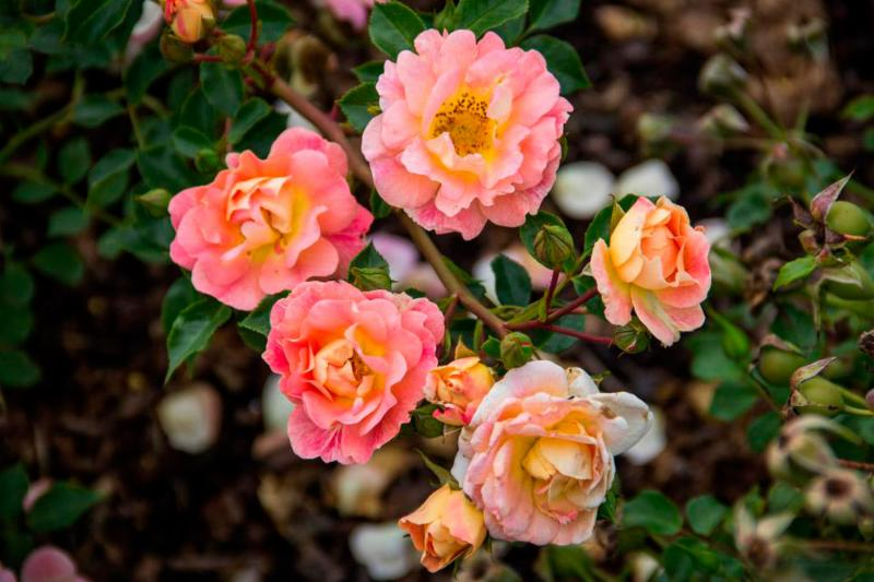Oso Easy Rose 'Strawberry Crush'