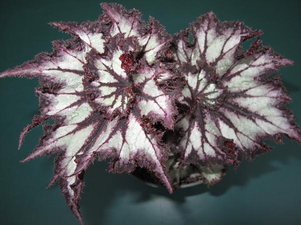 Rex Begonias