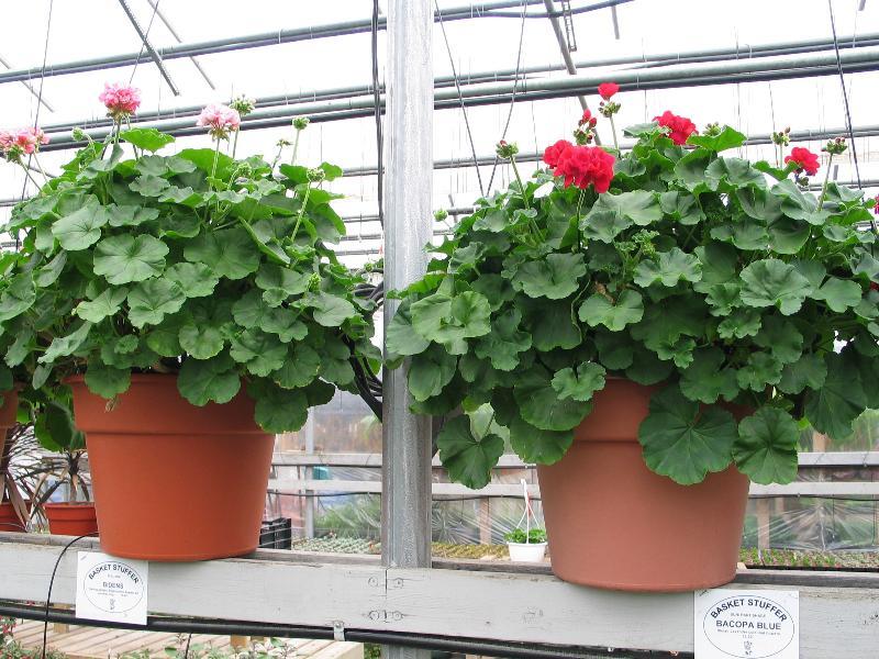 geranium stockpots