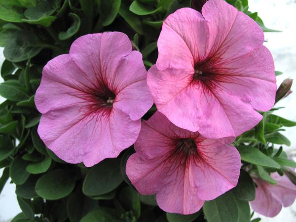 Potunia Plus Pinkalicious Vegetative Petunia