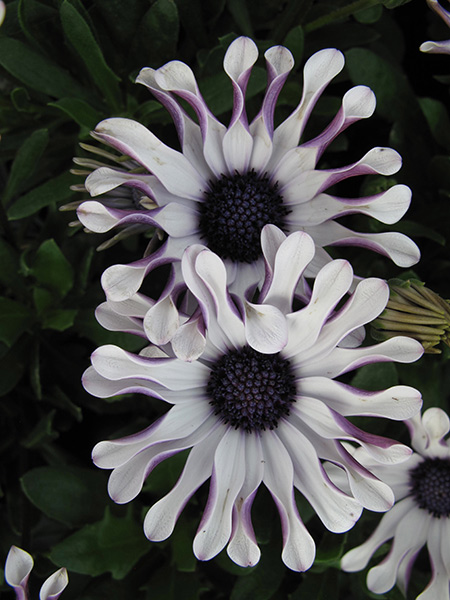 Osteospermum Margarita White Spoon