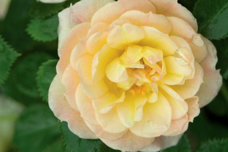 Oso Easy Rose Honey Bun