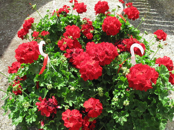 Calliope Dark Red Ivy Geranium Hanging Basket