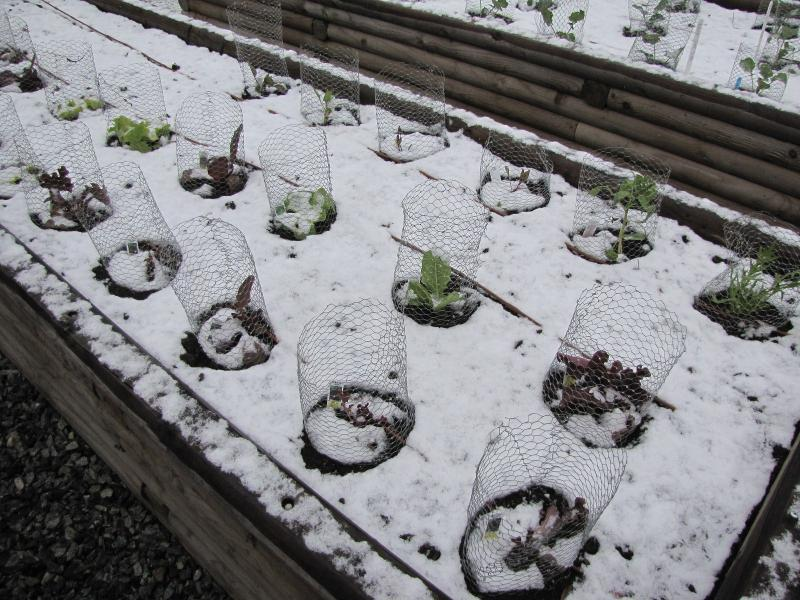 Lettuce in the Snow
