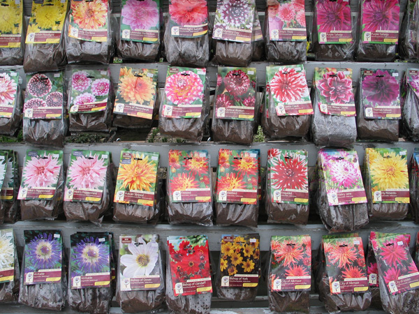 Assorted Dahlia Bulbs