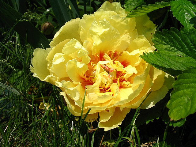 Intersectional Hybrid Peony
