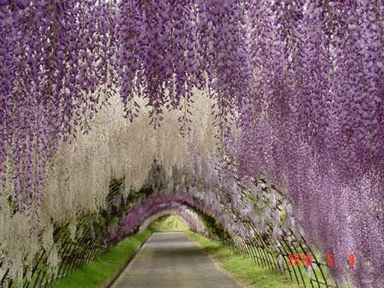 Japanese Wisteria Tree Tunnel